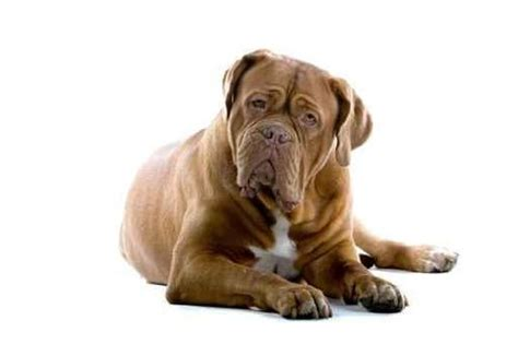 Ee  Dogue Ee    Ee  De Ee    Ee  Bordeaux Ee   The French Mastiff