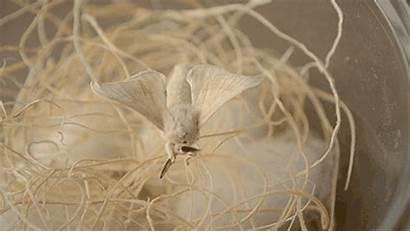 Bombyx Mori Silk Worm Antenna