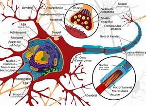 File Complete Neuron Cell Diagram It Svg