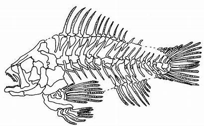 Skeleton Fish Skeletons Drawing Tattoo Designs Colouring