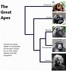 File:The-great-apes.png - Wikimedia Commons