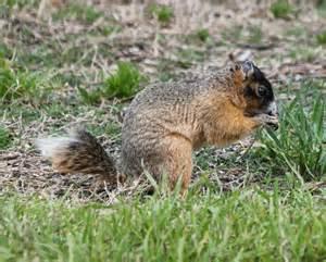 Florida Fox Squirrel Tail