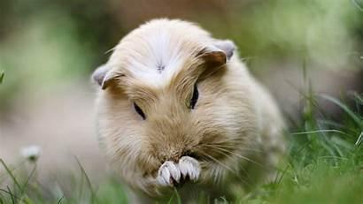 Pig Guinea Wallpapers Animal Desktop 1080 Chainimage
