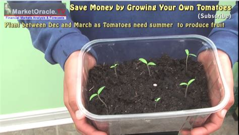 planting tomatoes indoors how to grow tomatoes indoors from seed germination