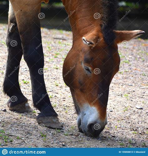 horse przewalski dzungarian wild herbivore china