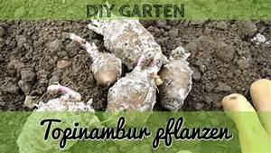 Topinambur Knollen Kaufen : topinambur pflanzen anbau von topinambur im eigenen garten youtube ~ Watch28wear.com Haus und Dekorationen