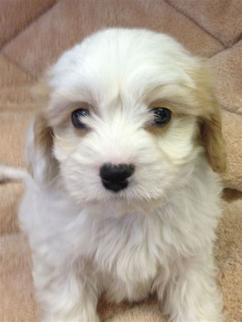 Cavachon Puppies For Sale  London, West London Pets4homes