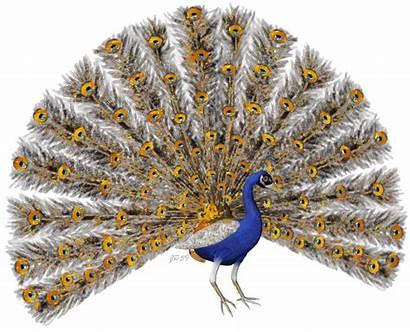 Peacock Oiseaux Gifs Paon Centerblog Aves Animated