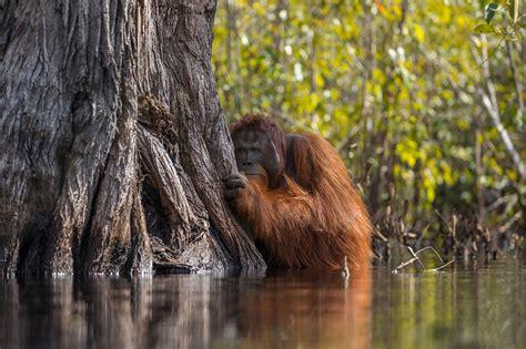 Orangutan Picture Wins Grand Prize in 2017 Nature ...
