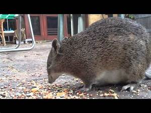 Bandicoot Pouch | www.pixshark.com - Images Galleries With ...