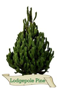 real christmas trees glasgow lodgepole pine real trees glasgow 4259