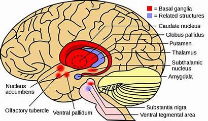 Basal Ganglia Structures Tourette Syndrome Related Brain