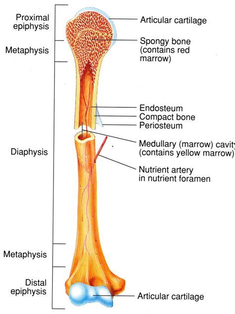 bone tissue biology   dolan  clark college