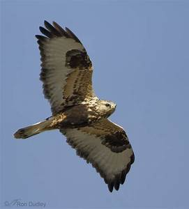 Rough-legged Hawk Flying Into The Wind « Feathered Photography