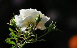 Birds Pigeons Pakistan: Best White Rose Flowers Wallpapers