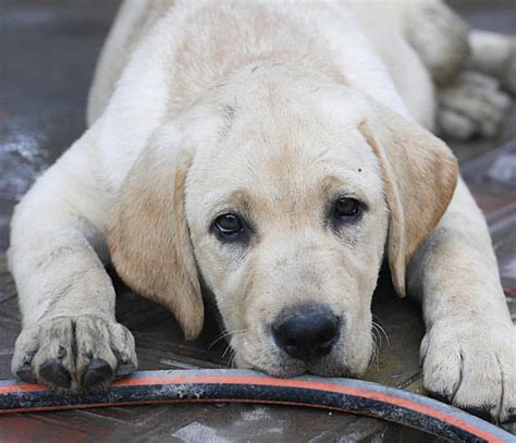 which colour labrador is the most intelligent