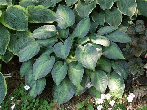hosta varieties june hosta 1 ooo hosta varieties for sale great plants mostly