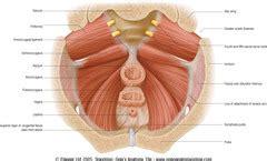 anatomy shelf pelvis perineum flashcards quizlet