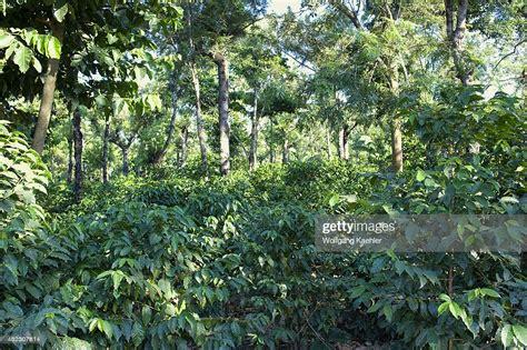 Des milliers de nouvelles images de grande qualité ajoutées chaque jour. Guatemala, Highlands, Antigua, Coffee Plantation, Shade Grown Coffee. News Photo - Getty Images