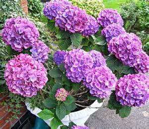 heels for hydrangeas a community for hydrangeaphiles to problems and advice