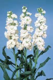 petunia flowers matthiola incana 39 cheerful 39 stock from sakata ornamentals