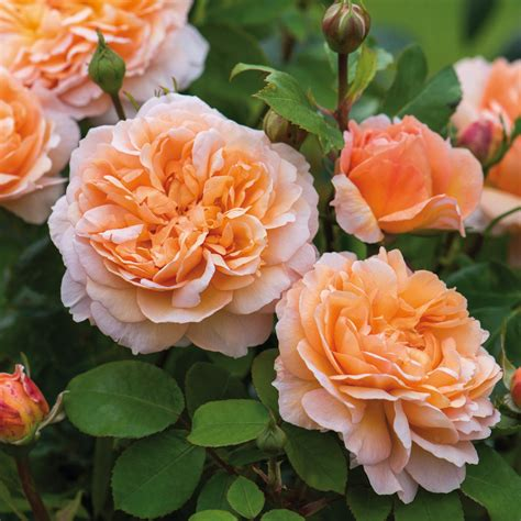 austen roses the lady gardener highly recommended popular searches