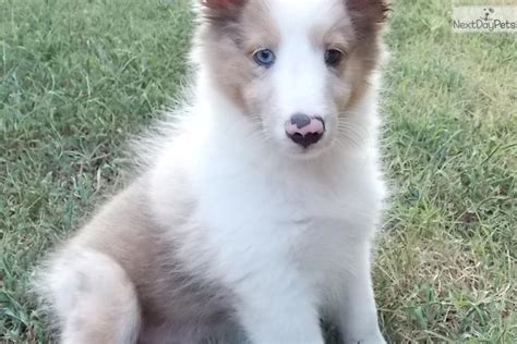 shetland sheepdog shed a lot free shelties to home breeds picture