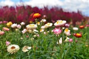 Welche Kräuter Sind Winterhart : strohblumen welche arten sind winterhart ~ Pilothousefishingboats.com Haus und Dekorationen
