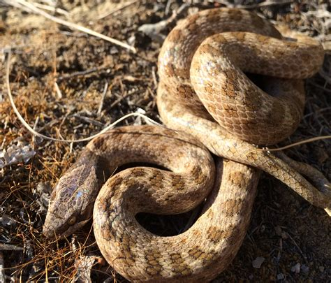 Don't be ssscared: The 7 snakes of the Thompson-Okanagan ...