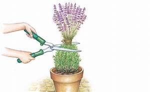 Schneeglöckchen Im Topf : lavendel richtig schneiden pinterest ~ Markanthonyermac.com Haus und Dekorationen