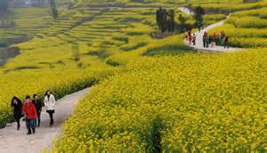 Flower Luoping County Canola Field Yunnan China