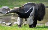 Giant Anteater (Myrmecophaga tridactyla) | about animals
