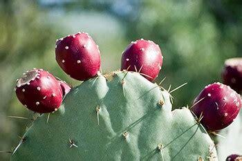 prickly pear margarita recipe el chorro lodge