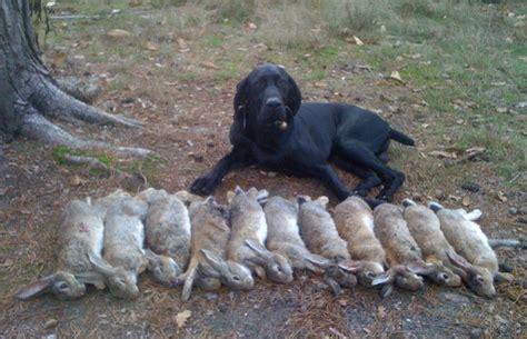 cuisiner un lapin de garenne chasse devant soi en sologne