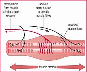 Muscle Control  Postural Reflexes