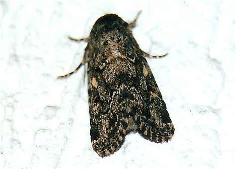 lawn armyworm moth spodoptera mauritia