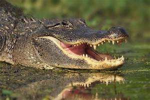 Elderly woman becomes latest victim in string of gator ...