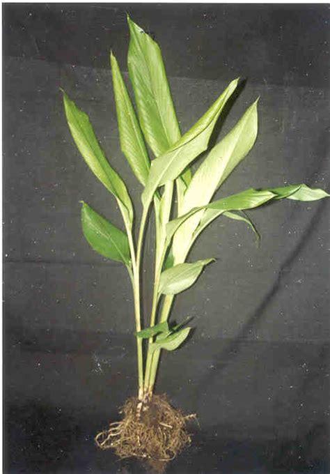 kunyit curcuma domestica herba semulajadi malaysia