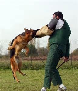 berger allemand chien sportif lebergerallemand fr