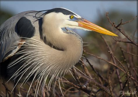 what color is heron great blue heron face 1543 s janthina images photo journal