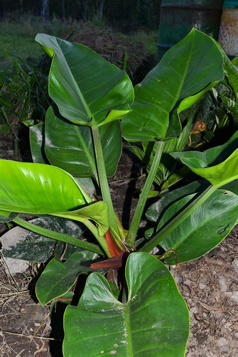 green plants for garden tropical plants philodendron imperial green