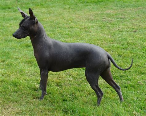 Mexican Hairless Dog Pictures – Wallpapers9