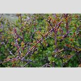 Hawthorn Tree Thorns | 640 x 426 jpeg 482kB