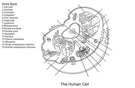 anatomy of human cell diagrams diagram site