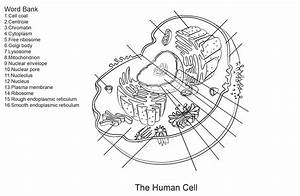 anatomy of human cell diagrams printable diagram With schematicdiagramjpg