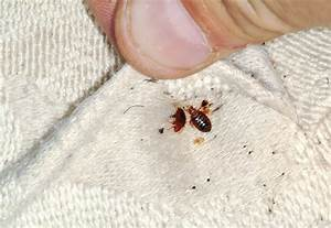 survey bed bugs are the last thing travelers want to see With bedbugs on mattress