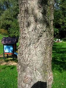 Els Elzen Alnus Alder Bomen Herkennen Op Deze Bomen Site