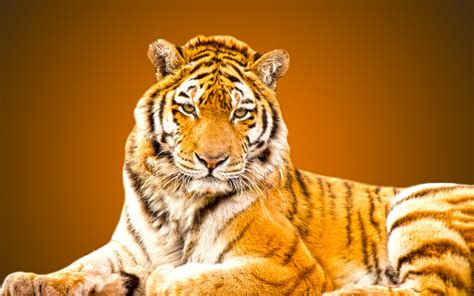 Tiger Animal Wallpaper - tiger animal wallpaper beautiful hd wallpaper