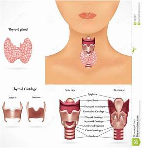 Thyroid Gland Stock Vector  Illustration Of Illustration