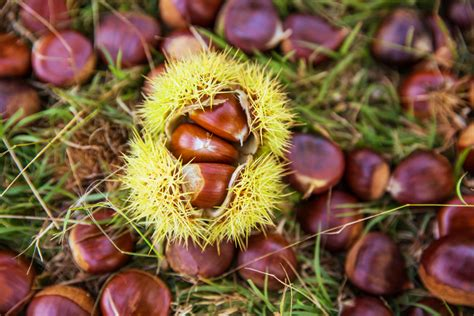 chestnut picking  directionless archerthe directionless archer